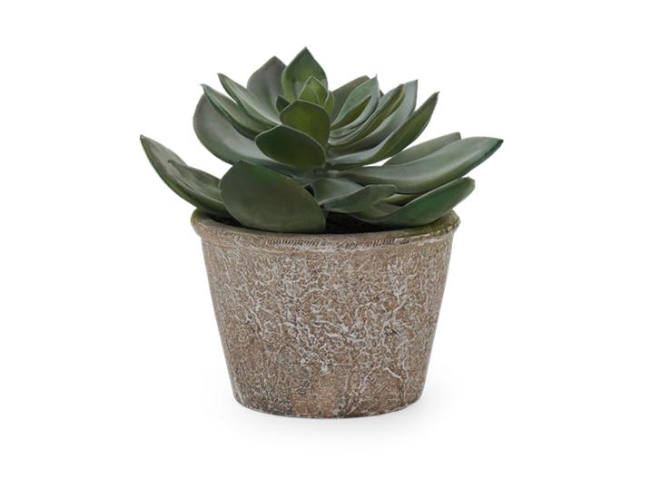 Echeveria Succulent Medium_Front