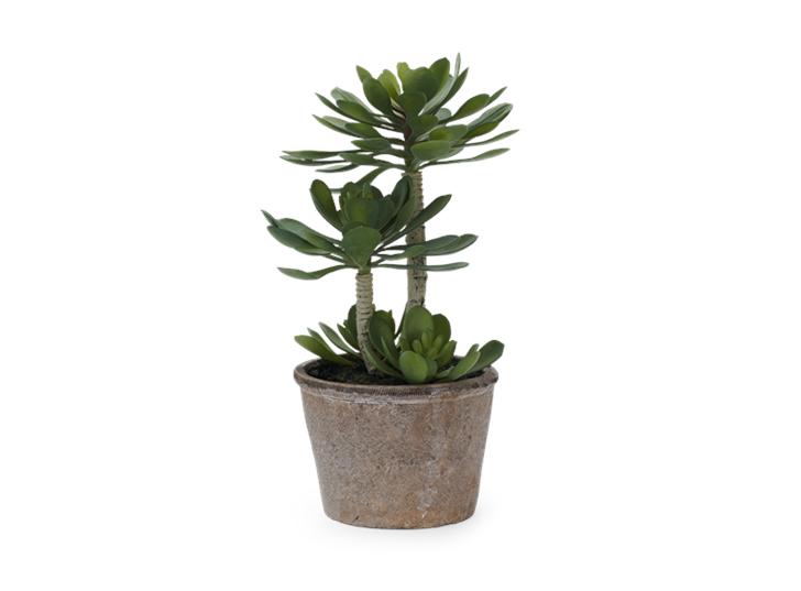 Echeveria Succulent Large_Front