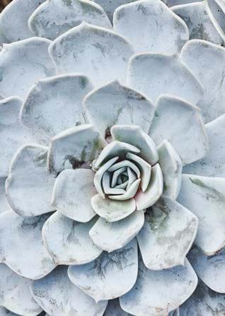 Grey blue succulent overhead