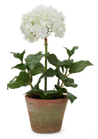 Potted Hydrangea, Small, White