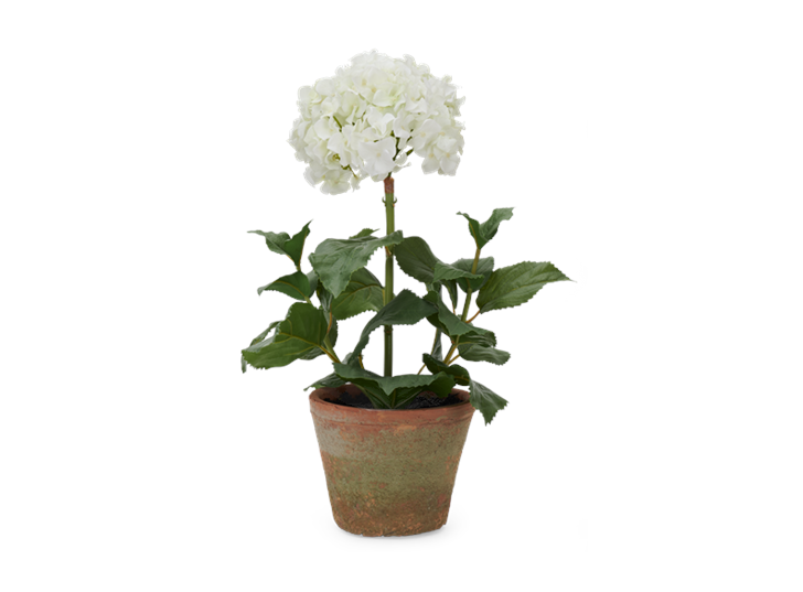 Potted Hydrangea Small_Front