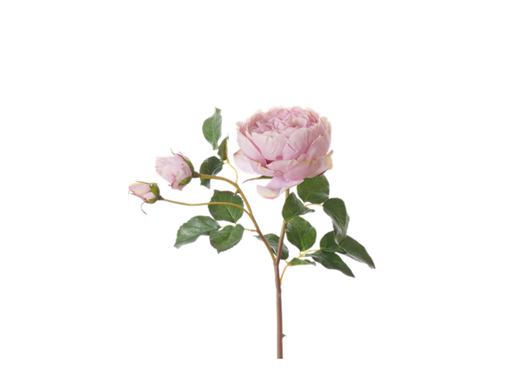 English Rose Short Stem_Dusky Pink_Square