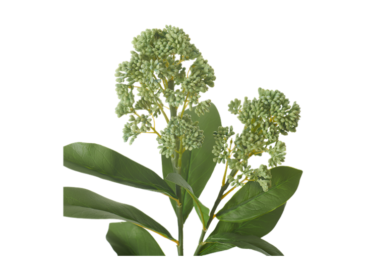 Skimmia Stem_Green_Detail