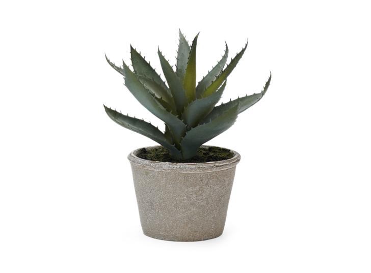 Aloe Vera Succulent_Front