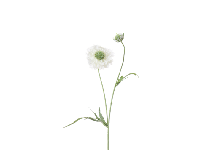 Scabiosa Stem_White_Square