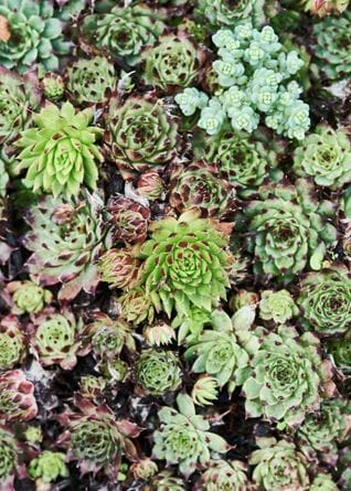 Vibrant green succulents overhead