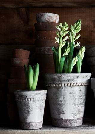 Green flowers in terracotta pots wide