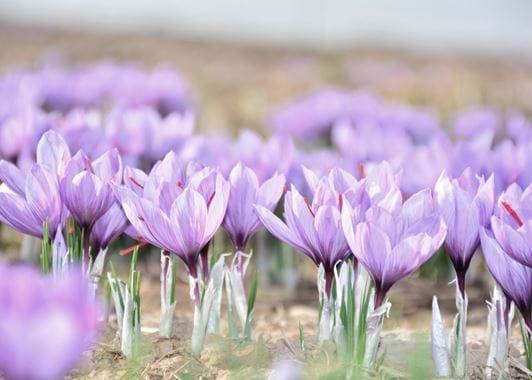 Saffron flowers 1
