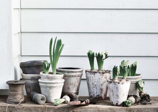 Spring Bulb Planting Basil Pot