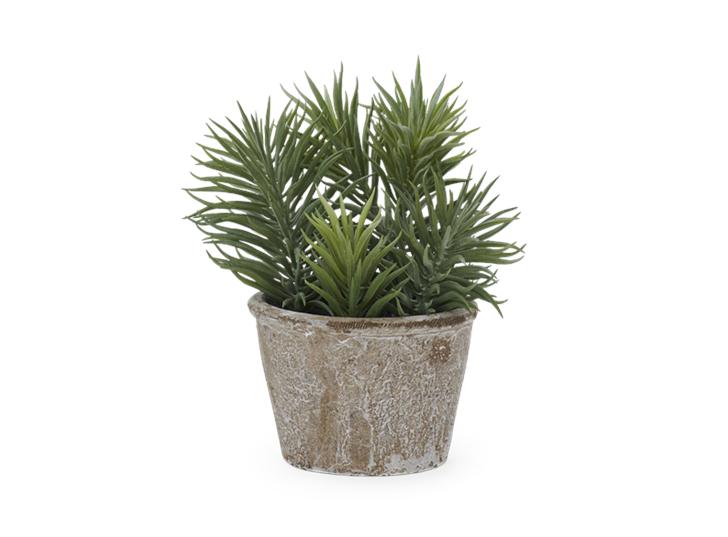 Sedum Succulent_Front