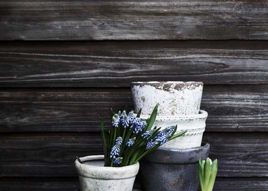 Thyme Pot Spring Grape Hyacinths