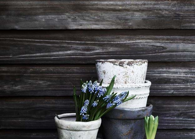 Thyme Pot Spring Grape Hyacinths