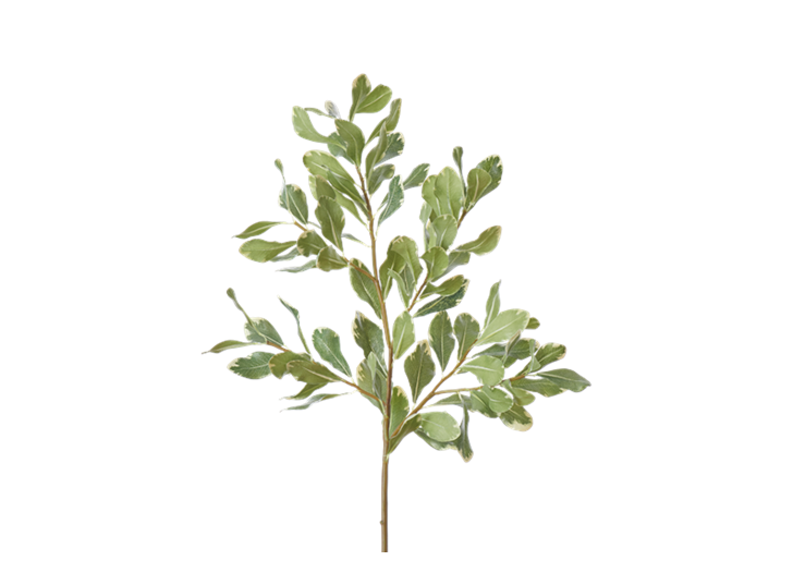 Pittosporum Spray_Green_Square
