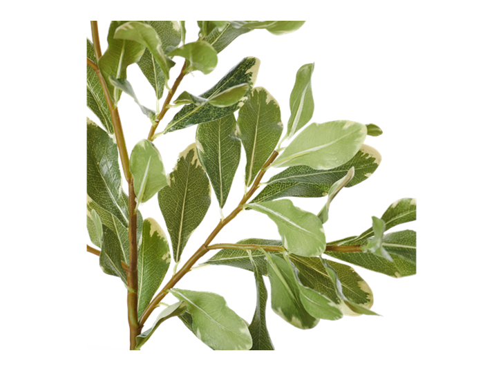 Pittosporum Spray_Green_Detail