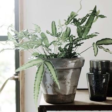 Sage Pot Planting