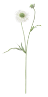 Scabiosa Stem, White