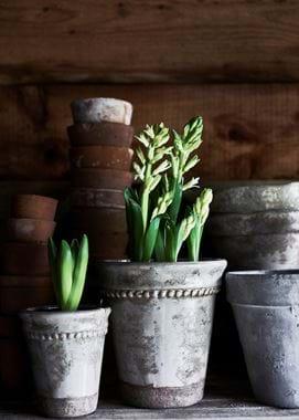 Spring Bulbs in Rosemary Pots
