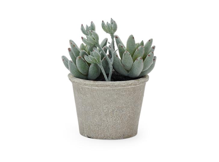 Echeveria Succulent Small_Front