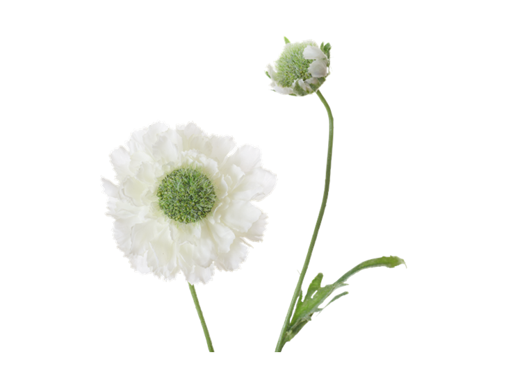 Scabiosa Stem_White_Detail